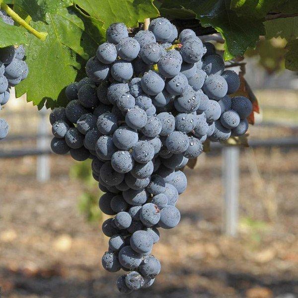 Uvas de Rioja: Garnacha Tinta