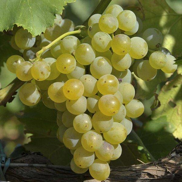Uvas de Rioja: Garnacha Blanca