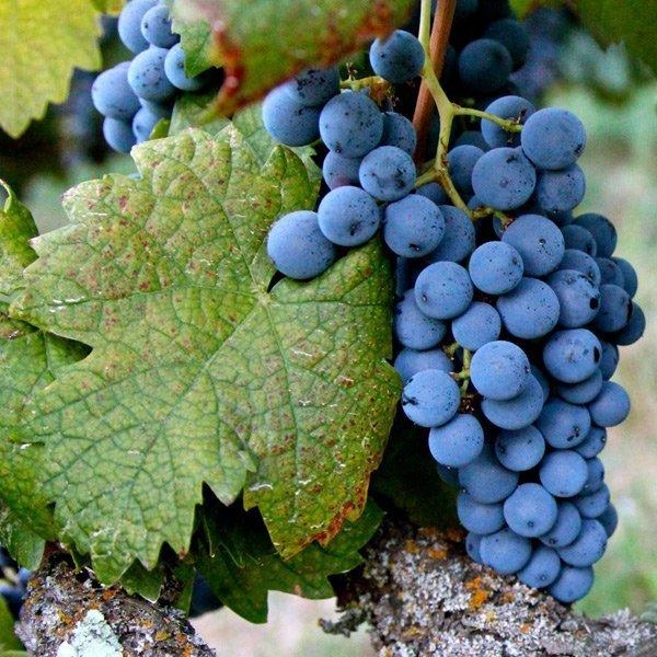 Uvas de Rioja: Graciano