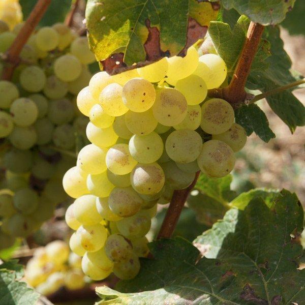 Malvasía: Variedades de uva de Rioja