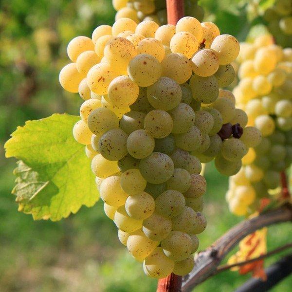 Saugvinon Blanc: Variedades de uva de Rioja