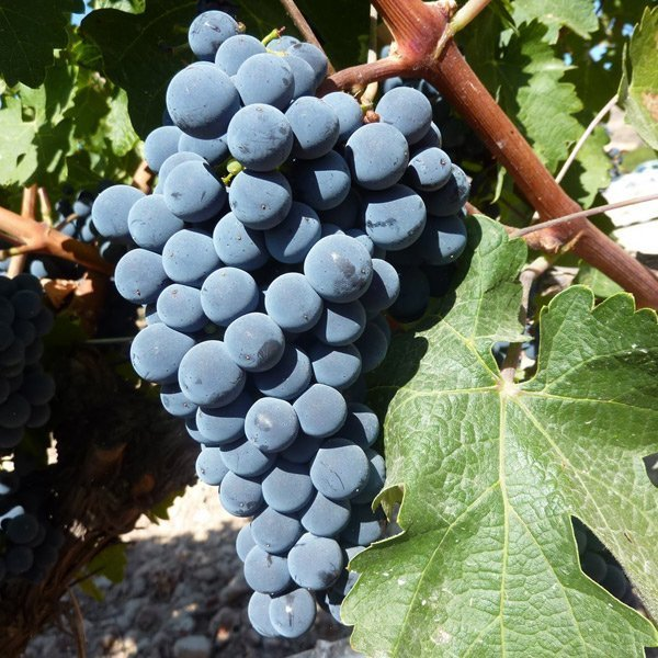 Uvas de Rioja: Tempranillo