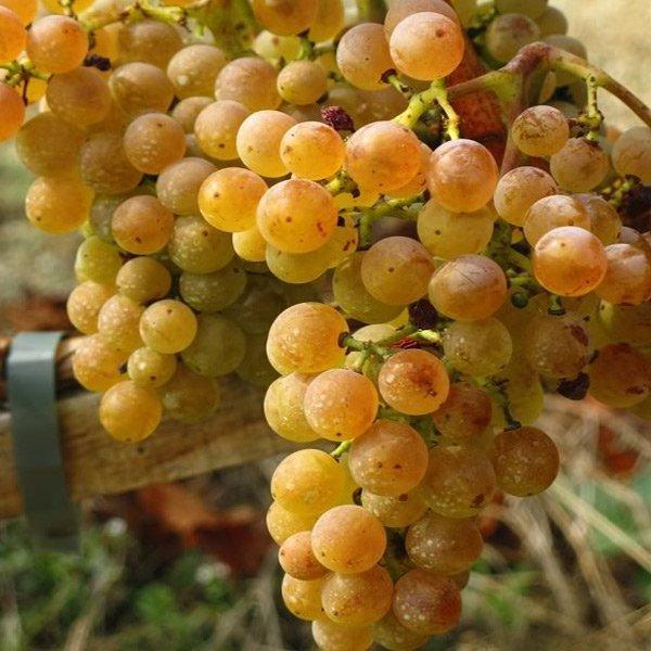 Uvas de Rioja: Tempranillo Blanco